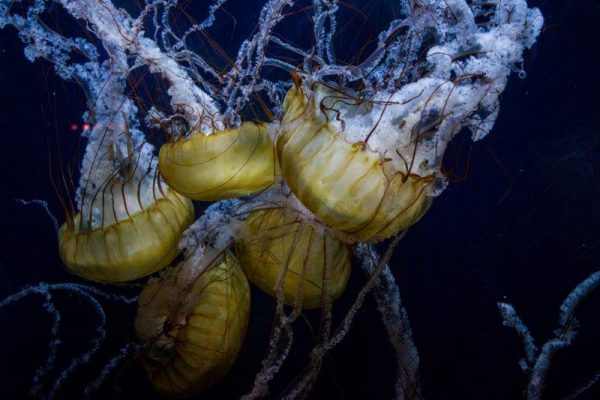 Jelly fish family