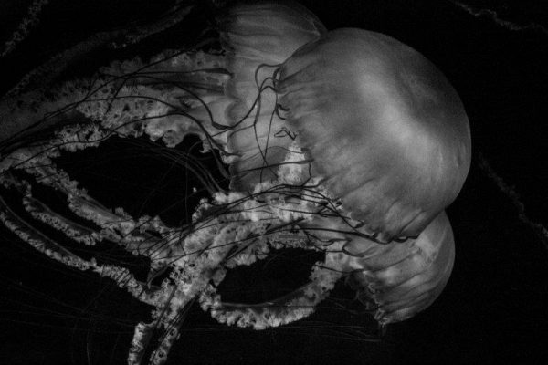 Jelly fish going down together BW
